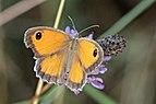 Southern gatekeeper (Pyronia cecilia) female Italy.jpg