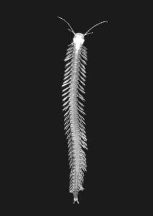 Remipedia - Speleonectes tanumekes