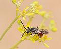 Sphecodes olivieri male 1.jpg