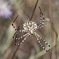 Spider Argiope Lobata 2 (3821951299).jpg