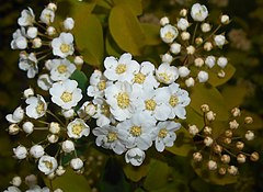 240px spiraea vanhouttei gold fountain 2016 05 17 0121