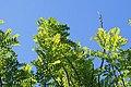 Spondias purpurea 17zz.jpg