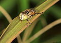 Spotted-eye hoverfly from W-Java, ♀ (5270336001).jpg