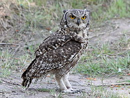 Spotted Eagle-Owl RWD