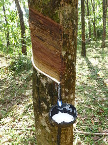 rubber tree in kerala