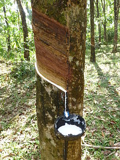 where rubber sap oozes out from the rubber tree