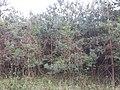 Standortfremde Monokultur im Schwarzwald südöstlich von Hollabrunn sl18.jpg