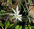 Star of Bethlehem - Flickr - gailhampshire.jpg