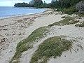 Starr-010206-0229-Cynodon dactylon-on sand dune-Kanaha Beach-Maui (24531080185).jpg