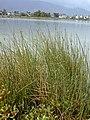 Starr-010209-0274-Cyperus laevigatus-habit-Kanaha pond-Maui (24448810341).jpg
