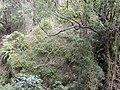 Starr-011026-0038-Thunbergia alata-invading gulch-Piiholo-Maui (23916054113).jpg