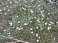 Starr-020221-0053-Erigeron karvinskianus-flowers-Polipoli-Maui (23918650054).jpg