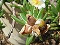 Starr-050407-6223-Portulaca villosa-capsules-Maui Nui Botanical Garden-Maui (24449423010).jpg
