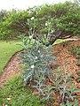 Starr-060329-6811-Argemone glauca-habit-Maui Nui Botanical Gardens-Maui (24765517031).jpg