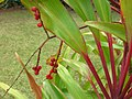 Starr-060916-8963-Cordyline fruticosa-fruit-Makawao-Maui (24569941410).jpg