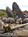 Starr-080209-2628-Cordyline fruticosa-rain koa-Puu Moaulanui-Kahoolawe (24608599340).jpg