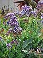 Starr-090421-6309-Limonium arborescens-flowering habit-Pukalani-Maui (24325603673).jpg