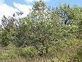 Starr-090601-8714-Melia azedarach-flowering habit-Ulupalakua-Maui (24935500426).jpg