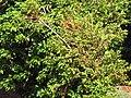 Starr-090714-2675-Coffea arabica-habit-Kaanapali-Maui (24342697773).jpg