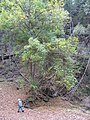 Starr-091115-1285-Fraxinus uhdei-habit fall foliage with Forest-Olinda-Maui (24359553494).jpg