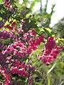Starr-100113-1217-Antigonon leptopus-flowers-Waihee-Maui (24980399836).jpg