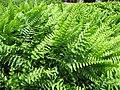 Starr-100623-7771-Nephrolepis sp-potted plants in shade house-Pukalani Plant Company Pulehu-Maui (24746746030).jpg