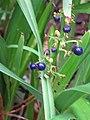 Starr-110307-2200-Dianella sandwicensis-fruit and leaves-Kula Botanical Garden-Maui (24984463371).jpg