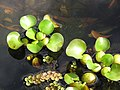 Starr-110330-3732-Eichhornia crassipes-habit in water garden-Garden of Eden Keanae-Maui (24450024404).jpg