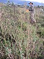 Starr-110601-6002-Lactuca sativa-flowering habit with Kim-Kula-Maui (25096516085).jpg