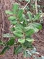 Starr-130318-2724-Cupaniopsis anacardioides-sapling-Crater Hill Kilauea Pt NWR-Kauai (25114670041).jpg