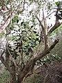 Starr-130321-3648-Clusia rosea-coming up in java plum-Crater Hill Kilauea Pt NWR-Kauai (25116250481).jpg