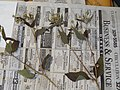 Starr-140621-0696-Unknown asteraceae-voucher-Kohala-Hawaii (25124961762).jpg