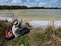 Starr-150401-0377-Paspalum urvillei-Kim looking at birds-Water Catchment Sand Island-Midway Atoll (24645984143).jpg