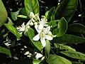 Starr-170923-0254-Citrus sinensis-Cara Cara Navel flowers-Hawea Pl Olinda-Maui - Flickr - Starr Environmental.jpg