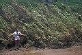 Starr-980706-1525-Arundo donax-habit-Kahului Beach Rd-Maui (24497294636).jpg