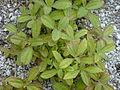 Starr 010520-0056 Flaveria trinervia.jpg