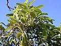 Starr 030210-0011 Tetraplasandra oahuensis.jpg