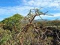 Starr 041223-1994 Canavalia pubescens.jpg