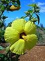 Starr 050301-4728 Hibiscus brackenridgei subsp. brackenridgei.jpg