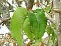 Starr 060429-8016 Nothocestrum latifolium.jpg