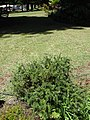 Starr 070402-6272 Rosmarinus officinalis.jpg