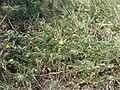 Starr 070404-6577 Tribulus cistoides.jpg