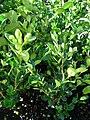 Starr 080103-1259 Buxus microphylla var. japonica.jpg