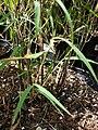 Starr 080117-2052 Otatea acuminata subsp. aztecorum.jpg