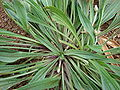 Starr 080327-3882 Plantago lanceolata.jpg