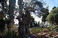 Stella Maris Monastery 09 - Old Olive Tree in the yard Long Shot.jpg
