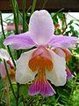 Stellenbosch University Botanical Garden - Vanda teres.jpg