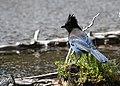 Steller's jay Waterton Lakes (2655694910).jpg