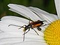 Stenurella melanura (Cerambycidae), ♀ - Kleiner Schmalbock (9542531019).jpg