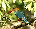 Stork-billed Kingfisher (Pelargopsis capensis) - Flickr - Lip Kee (1).jpg